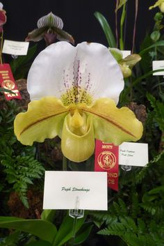 Paphiopedilum Stonehenge orchid.  Phalaenopsis orchids are epiphytes, which means in nature they grow in the branches of tropical trees, clinging to them for support while absorbing moisture from the surface of bark that is wet from dew and from rainfall.