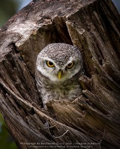 Owl in a tree stump