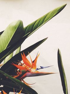 Our friends, the flora. justina blakeney// bird of paradise// plant// flower// tropical// favorite