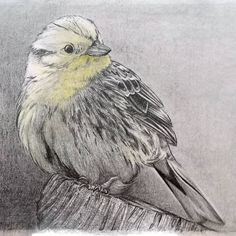 [New] The 10 Best Drawing Ideas Today (with Pictures) - One of 3 birds I'm drawing for someone. I love doing that kind of work now and again Graphite Drawings, Cool Drawings, Pencil Drawings, Bird Art, Insta Art, Wildlife, Birds, Drawing Ideas, Illustration