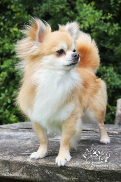Effective Potty Training Chihuahua Consistency Is Key Ideas. Brilliant Potty Training Chihuahua Consistency Is Key Ideas. I Love Dogs, Cute Dogs, Chihuahua Love, Chihuahua Names, Dogs And Puppies, Doggies, Long Haired Chihuahua Puppies, Long Coat Chihuahua, Little Dogs