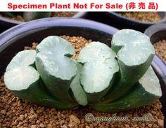 Succulent-Haworthia-truncata-Blue-Lens-supersize-windows-congesta-XXL