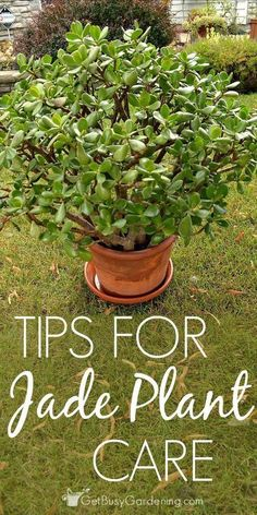 Tips for Jade Plant Succulent Care
