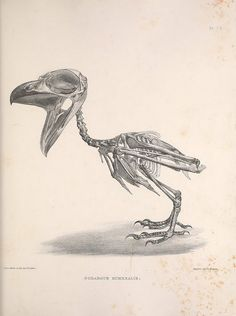 || Tawny Frogmouth (Podargus Humeralis), from Osteologia avium, or, A sketch of the osteology of birds /. [Wellington] :Published by R. Hobson, Wellington, Salop,1858-1875