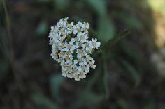deze bloementjes hebben naast hun grote witte kroonbladeren ook nog kleine gele kroonblaadjes