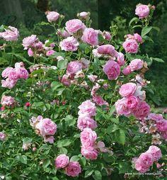 Louise Odier RosaĆwik Botanical Prints, Floral Wreath, Fragrance, Wreaths, Garden, Plants, Image, Google Search, Floral Crown