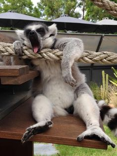Relaxation level: 10 Keeper Lisa Ridley caught one of our lemurs taking a break from leaping and foraging in our walkthrough exhibit. Funny Animal Videos, Funny Animal Pictures, Cute Funny Animals, Cute Baby Animals, Animals And Pets, Funny Monkeys, Magnificent Beasts, Wild Photography, Mundo Animal