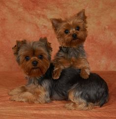 Yorkie Perfection!