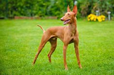 The Cirneco dell'Etna is a small, slender dog known for its hunting ability.
