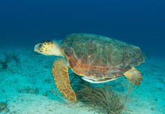 One of the many Loggerheads found offshore in Brevard County FL!