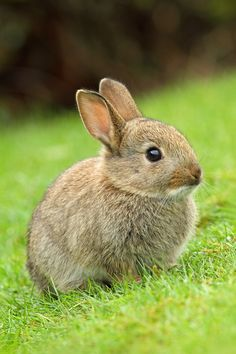 Wild Bunny by Simon Roy= You can remove rabbits from your garden with a healthy trap. I take mine to a farm with water and large fields. I often wonder if they make it back 'home' before I get back myself.