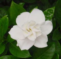 The simple beauty of fresh pure white flower is very striking!