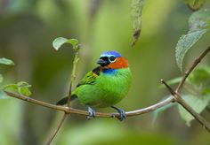 Red necked tanager at the Serra Bonita Reserve in Bahia.