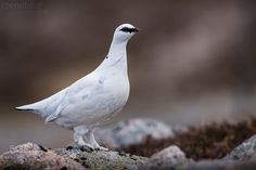 A male Ptarmigan poses nicely for its profile shot.