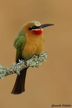 Merops Bullockoides - South Africa by Gerardo Colaleo