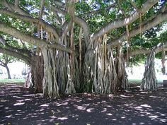 This is a Banyan tree in Hilo, Hawaii.  The hanging roots go into the ground! Awesome!
