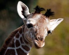 cutest giraffe   Awesomely cute baby giraffe (15 Pictures)