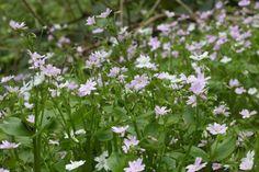 Claytonia sibirica, good for a deep shade