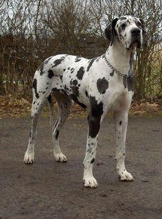 Dogge Odin - Dogue alemão – Wikipédia, a enciclopédia livre