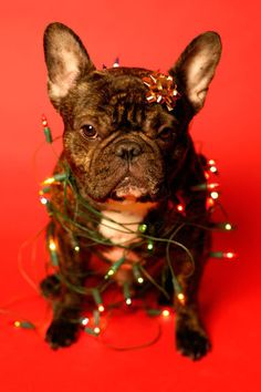 """""""Can't you Two just buy a Tree like Everyone Else."""" French Bulldog wrapped in 'Festive Holiday Lights'. Repin from Robin Sheldon"""