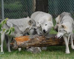 The town is home to Wolf Mountain Nature Center, a non-profit animal sanctuary that's run entirely by volunteers who advocate for the preservation of wolves.