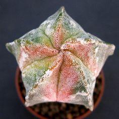 Astrophytum myriostigma KOYO, Red