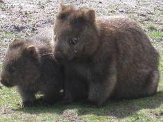 Wombats Australian Animals, Wombat, Happy Animals, Animals Of The World, Black Bear, New Zealand, Creatures, Extinct, My Favorite Things