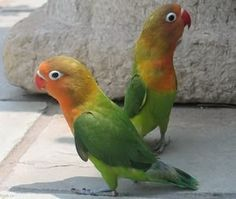 導讀:愛鳥的朋友當看到有人用手托著牡丹鸚鵡在遛鳥時,總是感到羨慕不已。其實鸚鵡上手是可以訓練的,而且不難訓練。只要有一個愛鸚鵡的心,加上得當的方法,相信你也可以擁有一支手養鸚鵡。手養過程中有哪些注意事項,下面一起來關心。