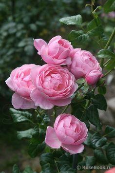 Captivating Why Rose Gardening Is So Addictive Ideas. Stupefying Why Rose Gardening Is So Addictive Ideas. Love Rose, Pretty Flowers, Pink Roses, Pink Flowers, Tea Roses, Exotic Flowers, Yellow Roses, Garden Design Software, David Austin Rosen