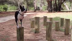 Boston Terrier Practicing Agility - Jumping on Wood Poles (Video) Boston Terrier Dog, Dog Names, Cute Animals, Facebook, Pets, Wood, Videos, Sweet, Check