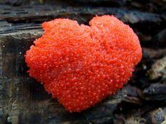 """Heart of slime"" Tubifera Ferruginosa ~ By Martin Livezey"