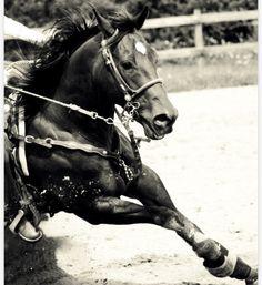 Barrels, horse, hest, action, wild, running, fence, beautiful, animal, gorgeous, awsome, photo b/w.