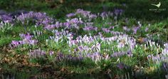 The first signs of Spring at Mount Juliet Estate. http://www.mountjuliet.ie
