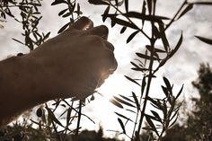 Το μάζεμα της ελιάς