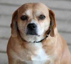 Lady Starr is a Beagle/Cocker Spaniel Mix up for adoption in Fairmont, WV! Check out her page for more details!!!