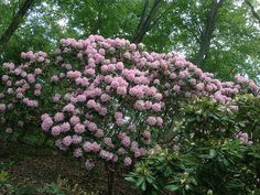 Rhododendron.  Spot plant at the edge of woods for splash of color in spring/summer and privacy and greenery in winter