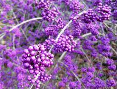 Callicarpa - also known as The Beauty Bush