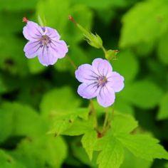 Ooievaarsbek - Geranium nodosum Lavandula Angustifolia, Geraniums, Plants, Plant, Planets, Lavender