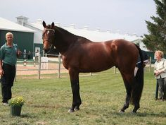 PS I Love You 200317hh Bay Selle Francais Stallion standing at Armstrong Farm