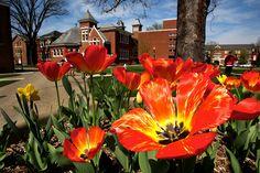 Spring tulips by California University of Pennsylvania, via Flickr