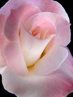 An exquisite rose flower with many subtle-shades-of-pink