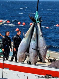"""Genuine Andalusia recently witnessed one of the most historical and spectacular Tuna-fishing ceremonies in South-West Spain: """"la levantá del Atún"""". Tuna Fishing, Beautiful Sea Creatures, South Of Spain, Ad Art, Andalusia, Climate Change, Sustainability, Boat, Lifestyle"""