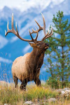 Photo by Mark RaycroftA giant Montana bull trolls the high country in…