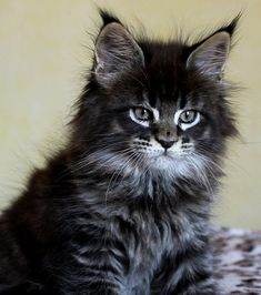 Ideas For Cats Breeds Maine Coon Sweets Cute Cats And Kittens, Baby Cats, Cool Cats, Kittens Cutest, Pretty Cats, Beautiful Cats, Animals Beautiful, Maine Coon Kittens, Photo Chat