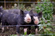 Berkshire pigs- incl a video after the link