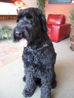 Schnoodle, Oodle, Poodle Hybrid, Poodle Mix, Doodle, Dog, Puppy pinned by myoodle.com