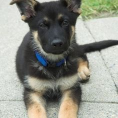 German shepherd puppies can become leaders of the household, if not trained properly.
