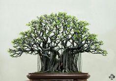 Bonsai Galerie - Bonsai Empire