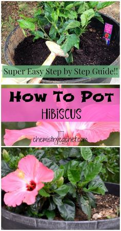 How to Pot Hibiscus with Step by Step Instructions Bring tropical ambiance to your yard with this easy step by step guide to potting hibiscus! This proven method will ensure healthy plants all summer long! Stop by your source for easy chemist tips on gard Hibiscus Bush, Growing Hibiscus, Hibiscus Garden, Hibiscus Flowers, Hawaiian Flowers, Cactus Flower, Exotic Flowers, Hibiscus Tree Care, Purple Flowers