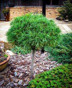 Green Twist White Pine Tree, Pinus strobus